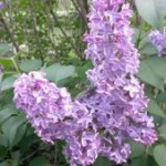 Starcat's Favorites: Lilac Season