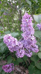 Lovely lilacs at our place. Photo by BlackLion.